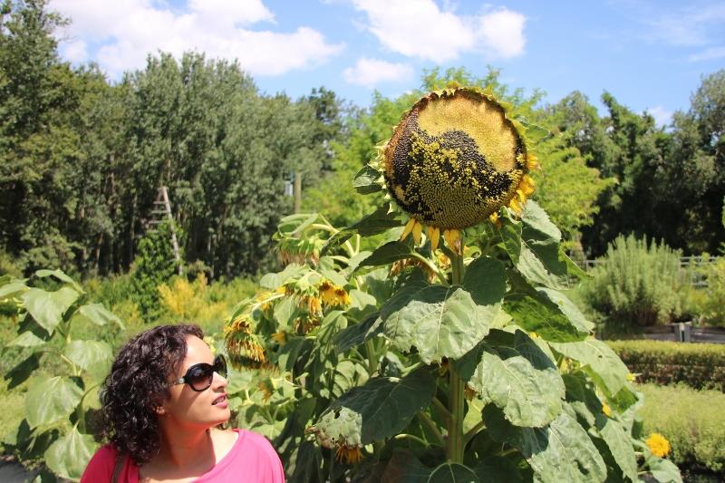 Boschendal Estate gardens sunflowers