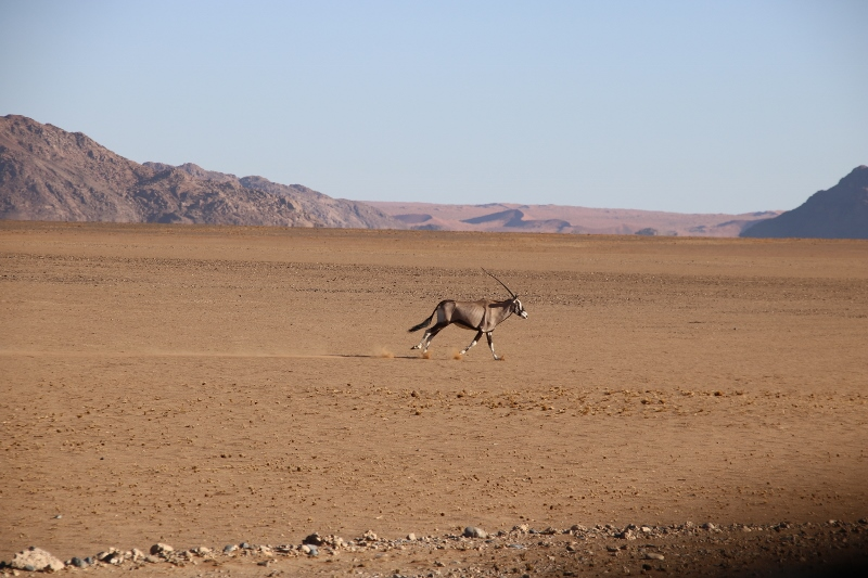 Sesriem Park Running Oryx