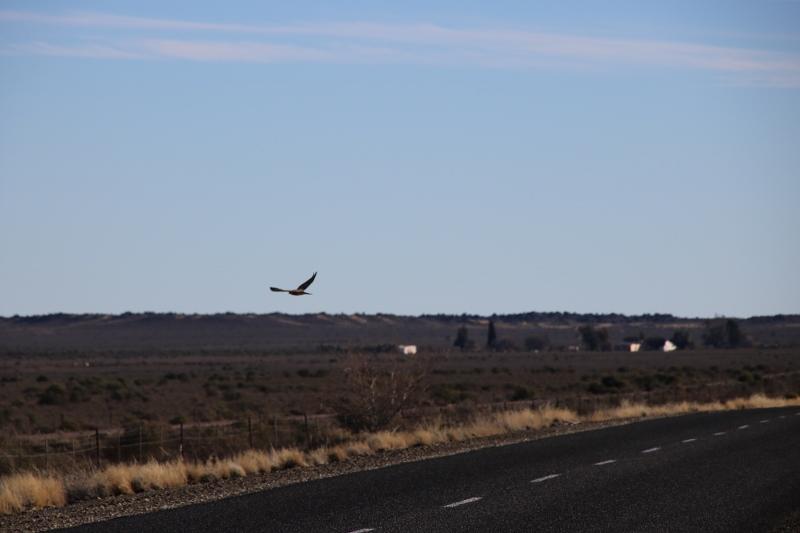 Falcon in the Karoo