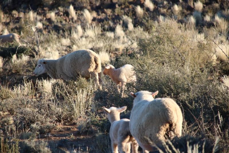 Karoo sheep